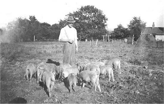 """Paddy"" Johnston with his Pigs"