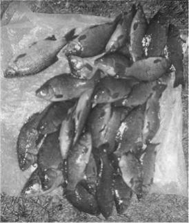 A typical days catch from Vokes Lake, Normandy c.1970
